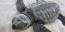 Rare Kemp's Ridley sea turtle hatchling moving towards the Gulf.