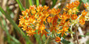 Butterflyweed attracts many species of butterflies with its bright orange flowers and sugary nectar.