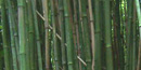 You can experience hundreds of shades of green in the bamboo forest as well as enjoy the melodic tones produced in the breeze.
