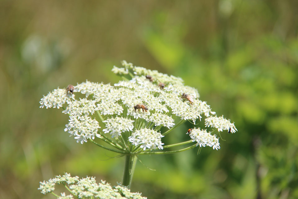 Insects on Cow Parsnip Umbel