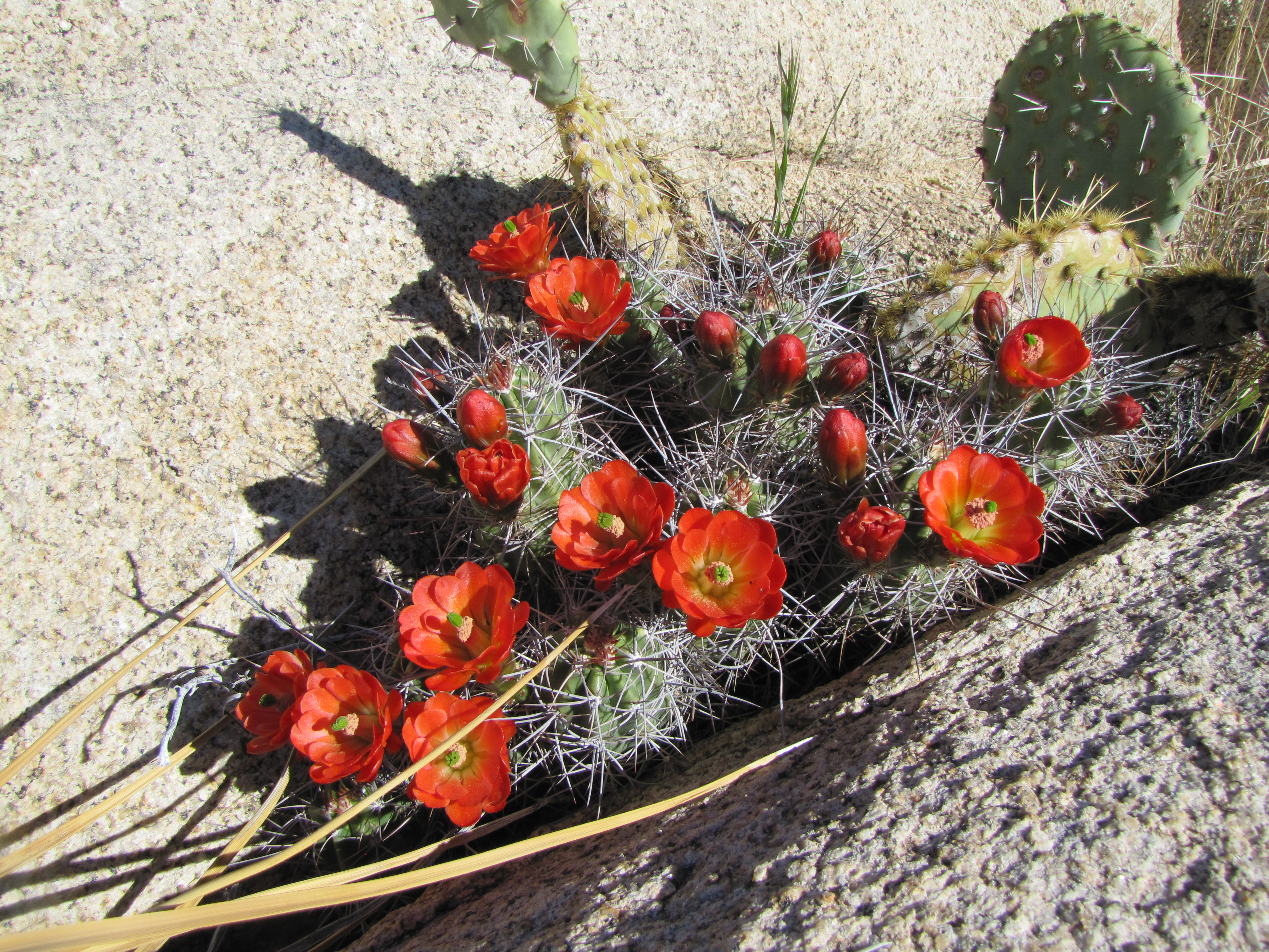 Color photo of orange flowers on a very spiny cactus. Photo: NPS / Neil Frakes