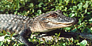 Young alligator crawls through vegetation.