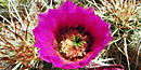 Mojave Mound Cactus Bloom