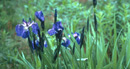 wild iris in bloom with blue to purple petals with white centers, long bright green pointed leaves