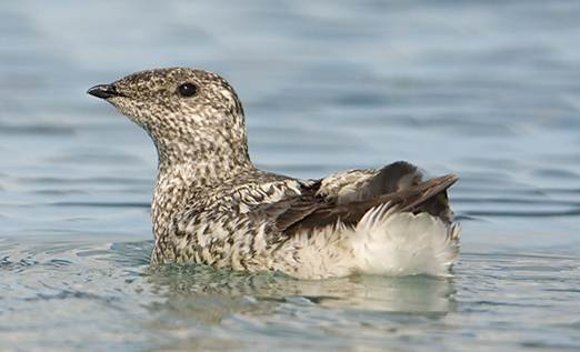 Kittlitz's murrelet, a brown seabird