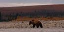Grizzly bear meandering along the shoreline of the Noatak River during fall colors.