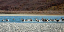 27 caribou, with tails held high, leave a gravel bar to splash and swim across a blue river on a fall day.