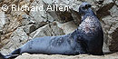 Bull elephant seal © Richard Allen