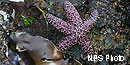 Purple ochre sea star