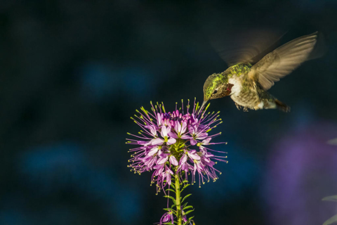 A broad-tailed hummingbird hovers above a branch