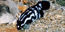 The lineal white markings on this spotted skunk run both horizontal and vertical.