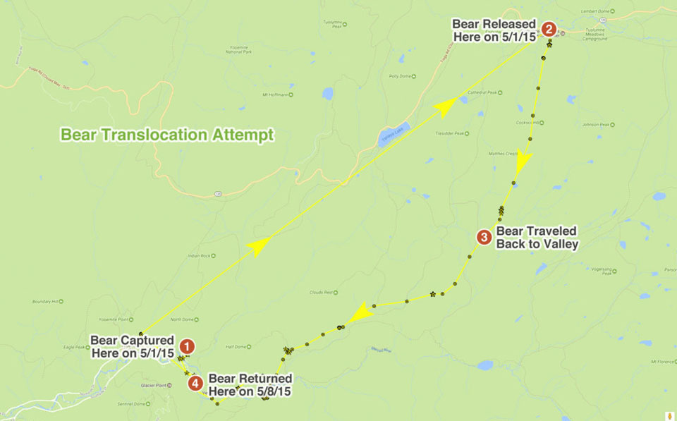 GPS track showing path bear took from Tuolumne Meadows back to Yosemite Valley