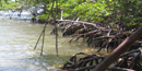 view of mangrove trees with their distinctive aireal roots along the shoreline.