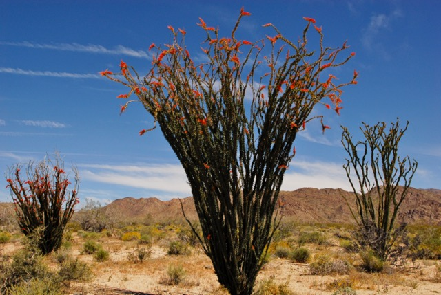 Color photo of a blooming ocotillo. Photo: Horace Birgh