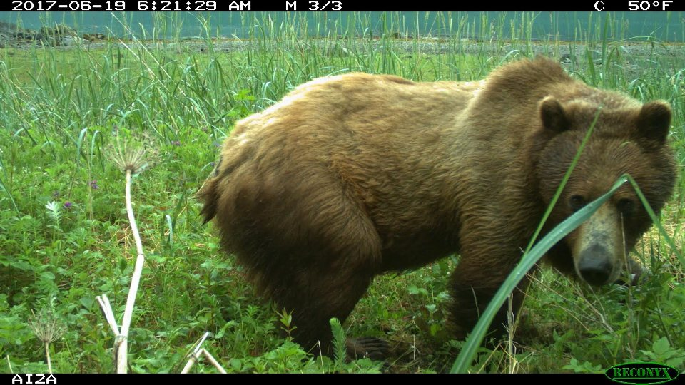 A brown bear photographed by motion sensor camera at the mouth of Adams Inlet.