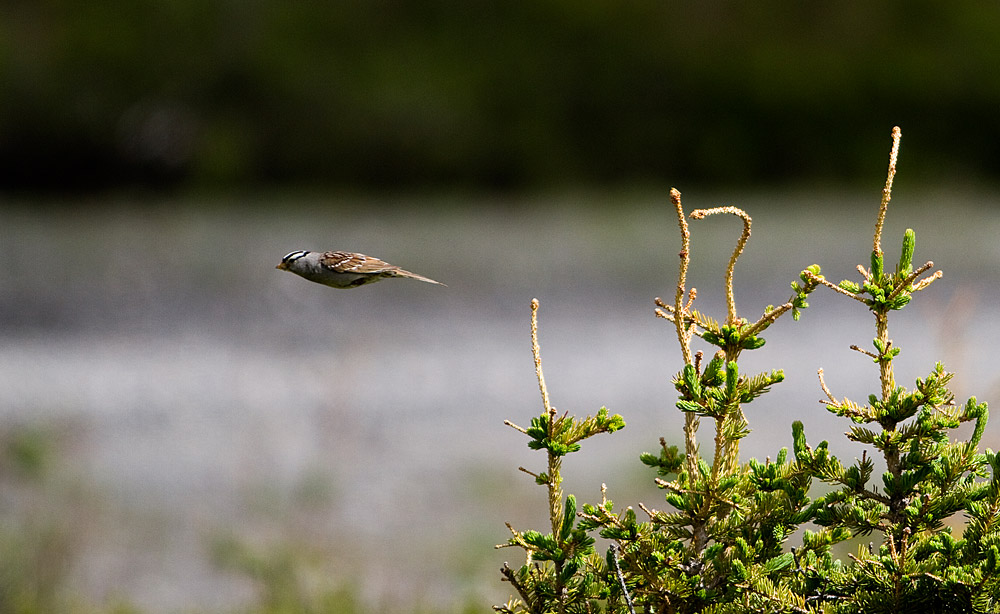 a white crowned sparrow in flight