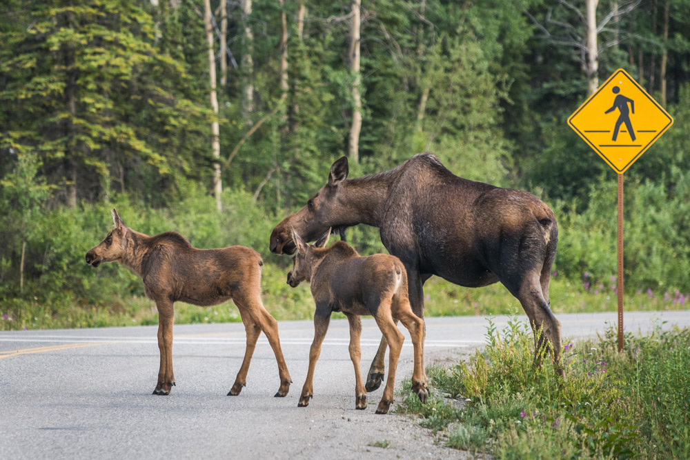 a cow moose and two small calves walk across a road at a cross walk