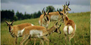 small herd of Pronghorn Antelope