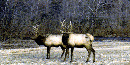 Two bull elk in pasture at Buffalo National River.