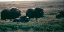 IMage of Musk Ox crossing landscape