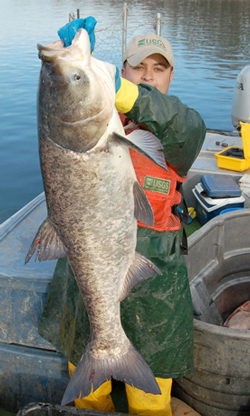 Large Asian Carp being held up by man in boat. Picture from United States Geological Survey