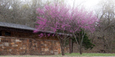 Eastern redbud trees blooming in front of the nature center
