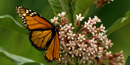 Monarch Butterfly - US Fish and Wildlife Service Photo