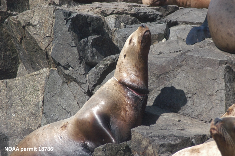 A packing band creates deep scars on a sea lion