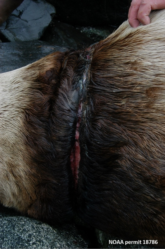scarred sea lion neck