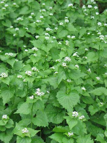 Garlic Mustard, green leafy plant with white flowers.