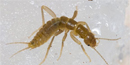 A grylloblattid crawling over ice.