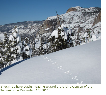 Snowshoe hare tracks in the snow heading toward the Grand Canyon of the Tuolumne