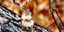 Red squirrel sitting on a branch/NPS file photo