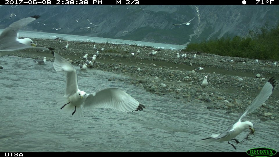 Black-legged Kittiwakes photographed by motion sensor camera in Tarr Inlet.