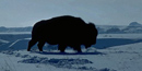 Bison in the snow.