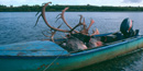 Image of two harvested caribou with large antlers lie in an old, blue  boat that is tied to the bank of the river.