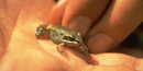 Image of a tiny wood frog with a black eye stripe is dwarfed by the palm of the person's hand on which it sits.