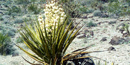 A flowering Mohave Yucca