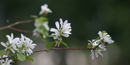 The mock orange grows prolifically at Fort Spokane and has a fragrant blossom similar to the orange blossom.