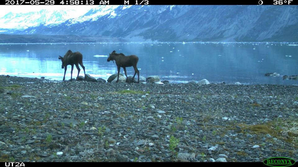 Two young bull moose photographed by motion sensor camera in Tarr Inlet.