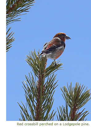 Red crossbill perched on a lodgepole pine