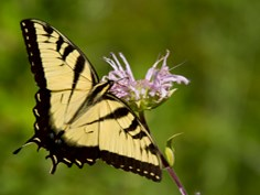 Yellow, swallowtail Butterfly