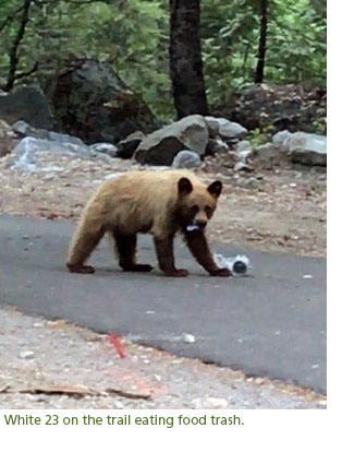 A young bear eating trash on a busy trail.