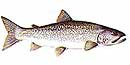 Lake Trout Illustration