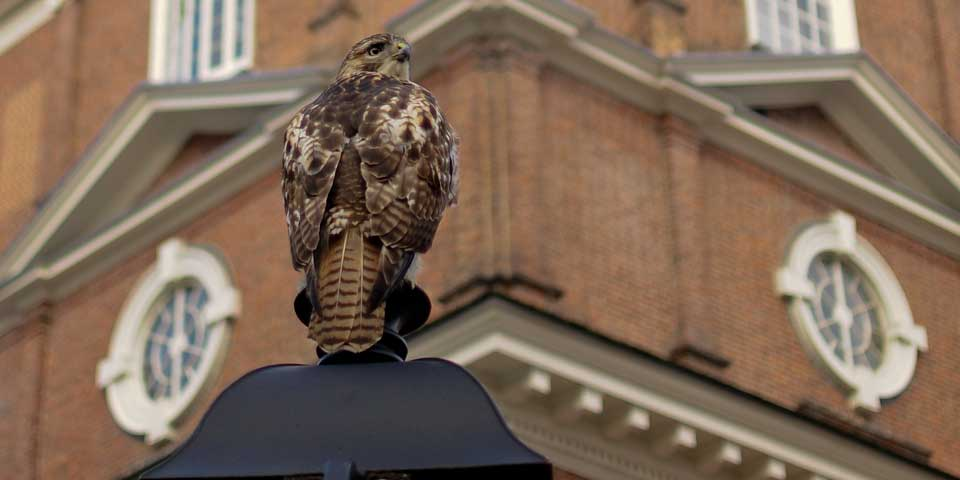 Color photo of a hawk perched on a lamp post, seen from the back with a red brick building behind it.