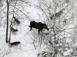 Wolves and moose interaction