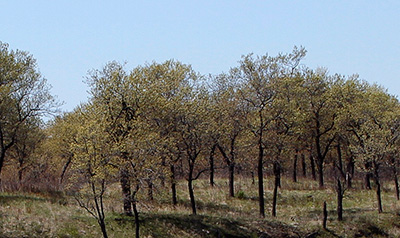 Black Oak Savannas Indiana Dunes National Lakeshore U S