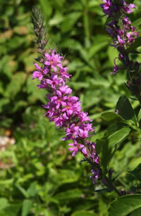 purple loosestrife in flower
