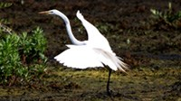 Great Marsh Egret