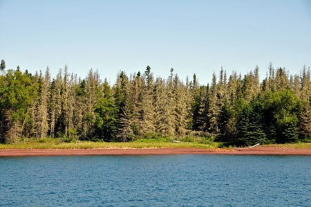 A shoreline with a spruce forest that is dying